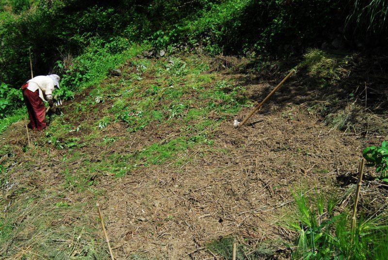 トロロアオイの種まき