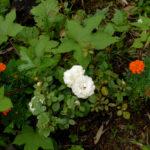 晩夏の花 Flowers in late summer